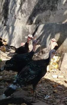 Yang suka Ayam kalkun