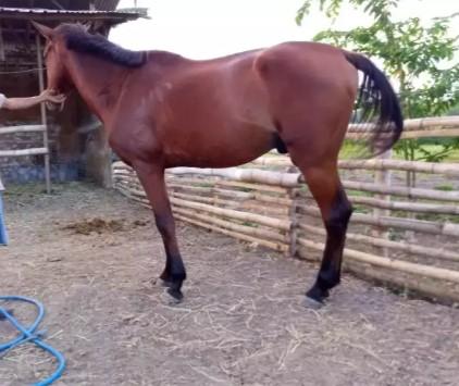 Kuda tunggang sandel