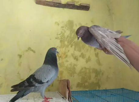 Merpati/burung dara pasangan