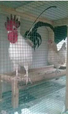 Ayam kate sepasang