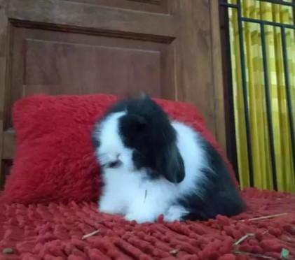 Kelinci Fuzzy Lop Sepasang Black White