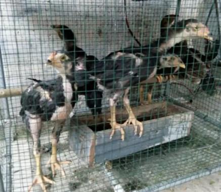 Ayam birma anakan dua bulan
