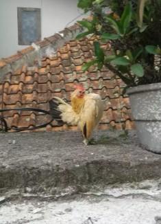 Ayam serama betina
