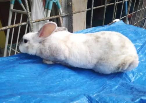 Kelinci minirex jantan (8 bulan)