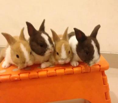 Kelinci Dutch import lincah Official ervisa rabbit