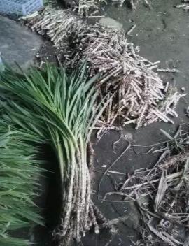 Rumput odot (pakan ternak)