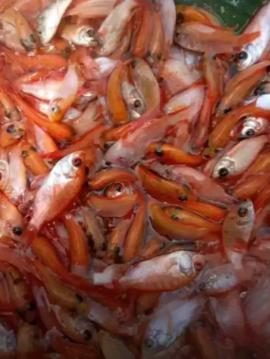 Sedia bibit ikan nila merah