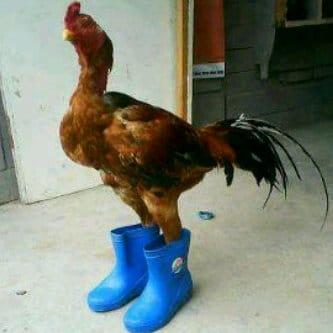 Jual ayam Kate kesayangan