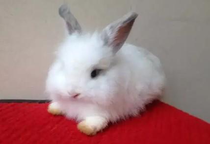 kelinci hias English Anggora Ea By Ervisa Rabbits