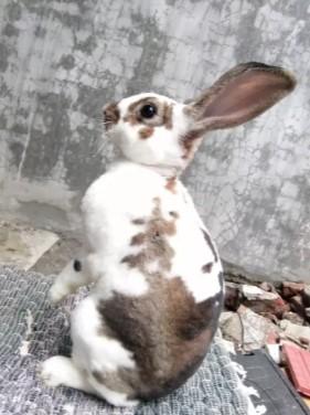 Kelinci Rex bulu jaminan lembut