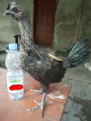 Anakan ayam pelung trah menak