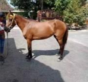 Kuda betina usia 4 tahun