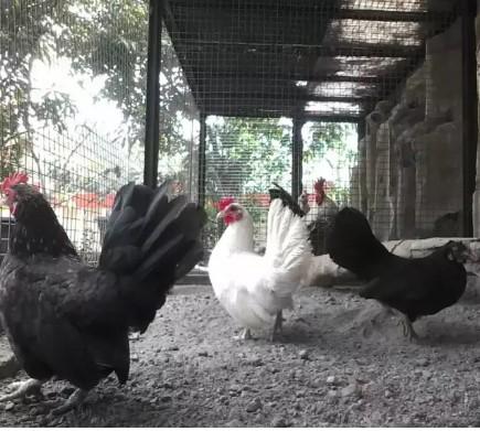 Ayam kate indukan