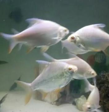 Ikan kapiat albino