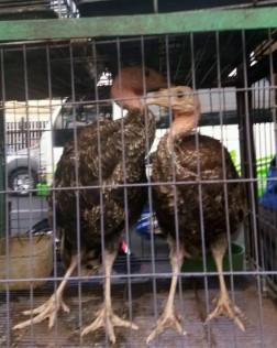Ayam Kalkun Usia 4-6Bln Bisa Dikirim Jabodetabek