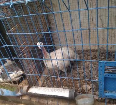 Ayam kalkun betina siap telur
