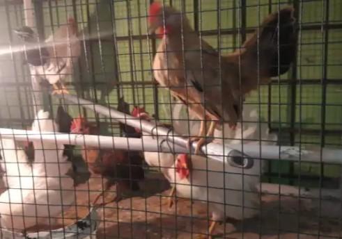 ayam kate umur4-6bulan