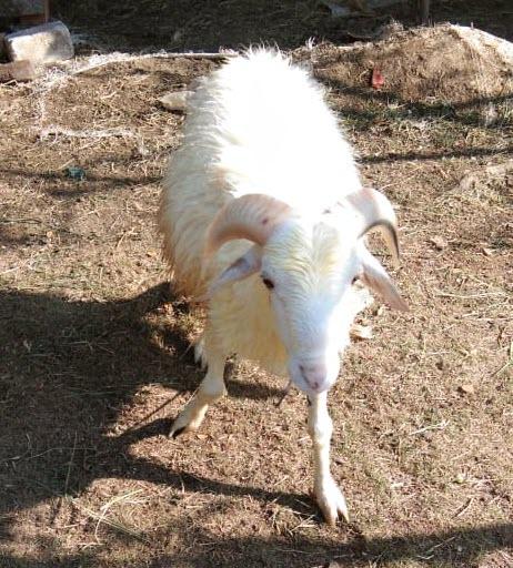 Jual Domba Badot Untuk Aqiqah