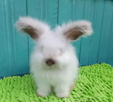 kelinci engglis anggora 3 bulan