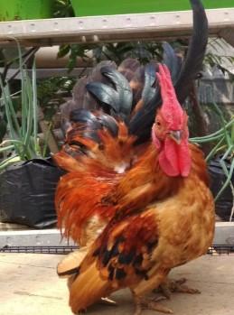 Ayam Jago Kate Ceper Gold