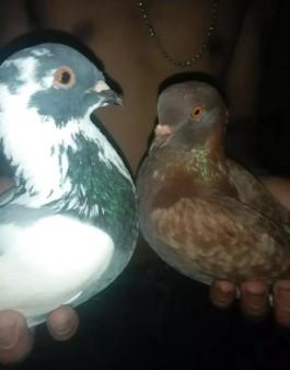 Burung dara pasangan giring
