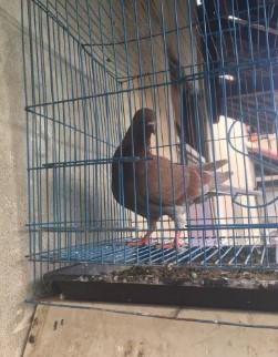 Burung Dara Bujangan