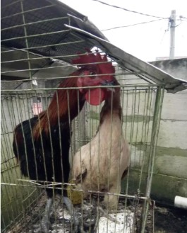 Ayam pelung sepasang