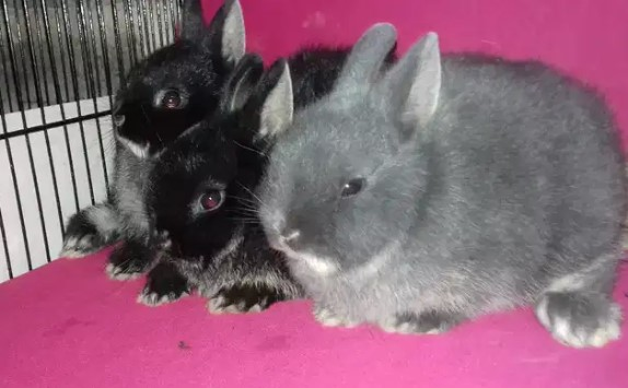 Kelinci mini / kelinci nd