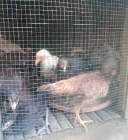 Ayam kampung umur 3 bln