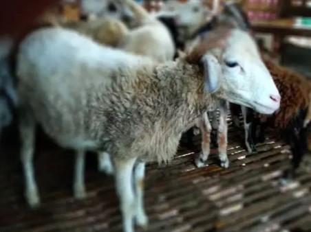 obral domba betina potong 15-30 kilo