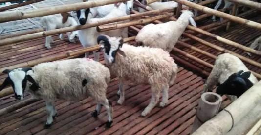 domba potong 15-40 kilo