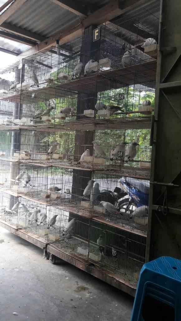Jalak Bali hasil penangkaran ANF BIRD FARM