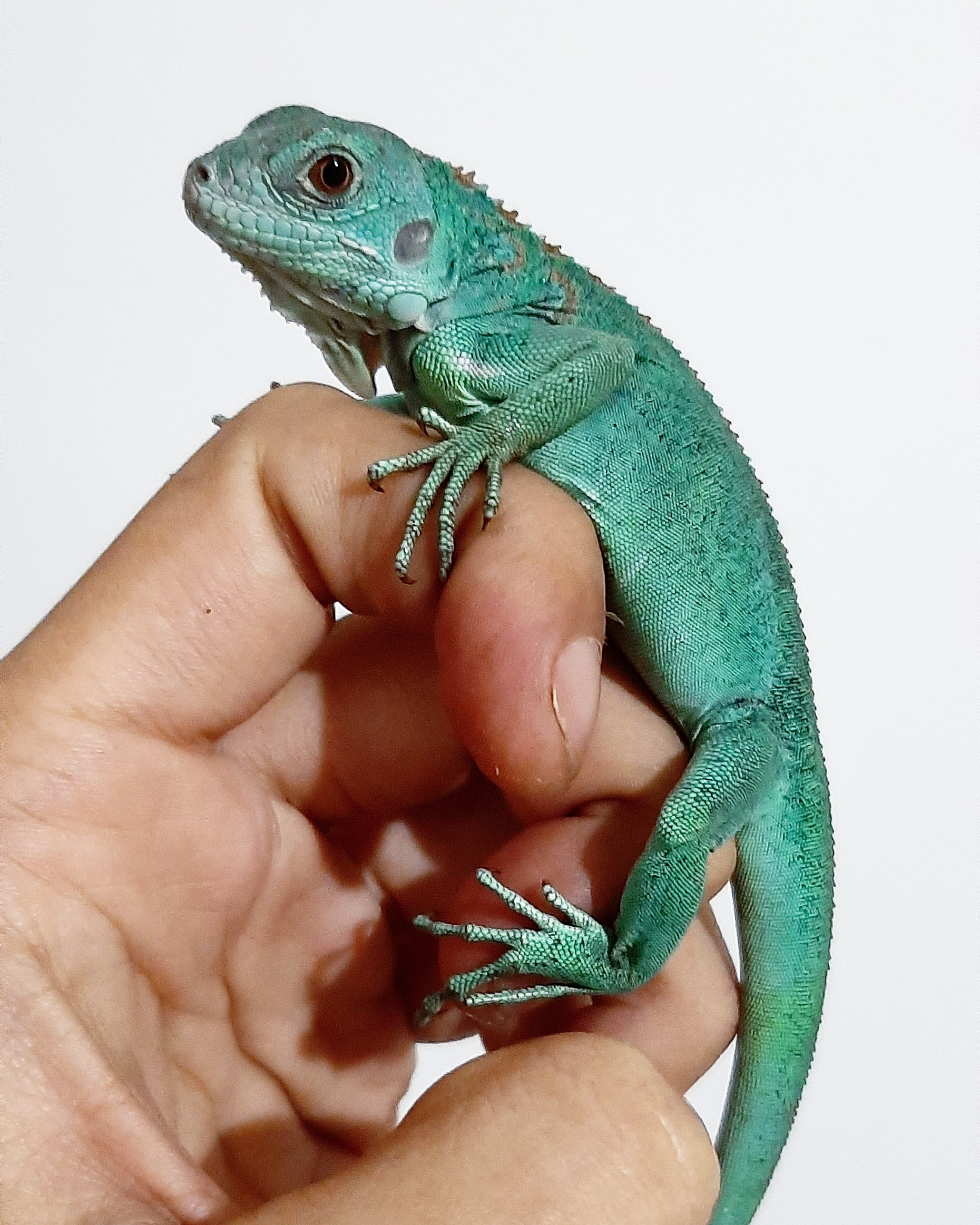 IGUANA BABY BLUE BETINA