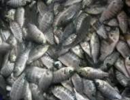 bibit ikan mujair