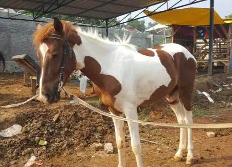 Kuda belang kp