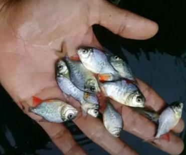 bibit ikan bawal berbagai ukuran