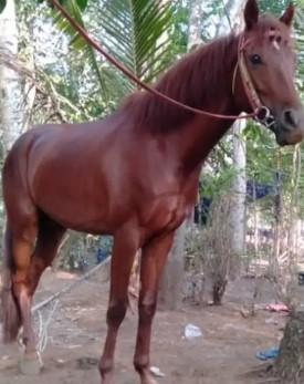 Kuda jantan