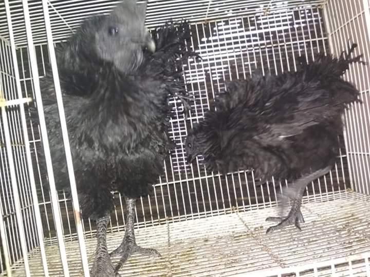 Satu Pasang Ayam Cemani Walik Dewasa Murah Siap Nikah
