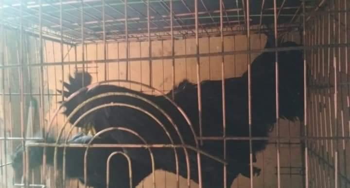 Satu Pasang Ayam Cemani Dewasa Murah Meriah Dijamin