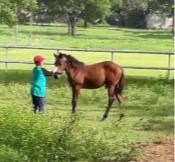 kuda tunggang, usia 8 bulan. KUDA KPI. Jinak