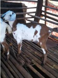 kambing kacang Betina usia 6 bulan