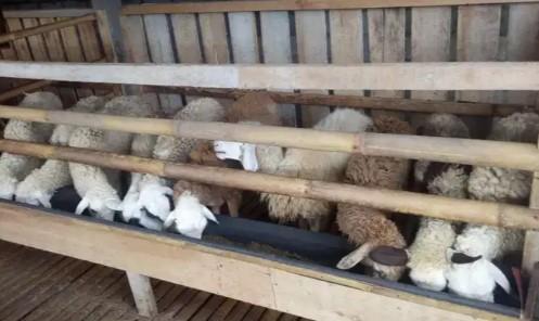 Domba betina doro siap kawin