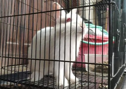 kelinci mini ND umur 5bulan jantan