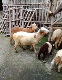 Domba bahan jantan remaja