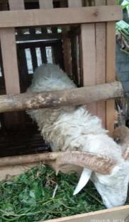 Domba Jantan Besar Ganteng Poel