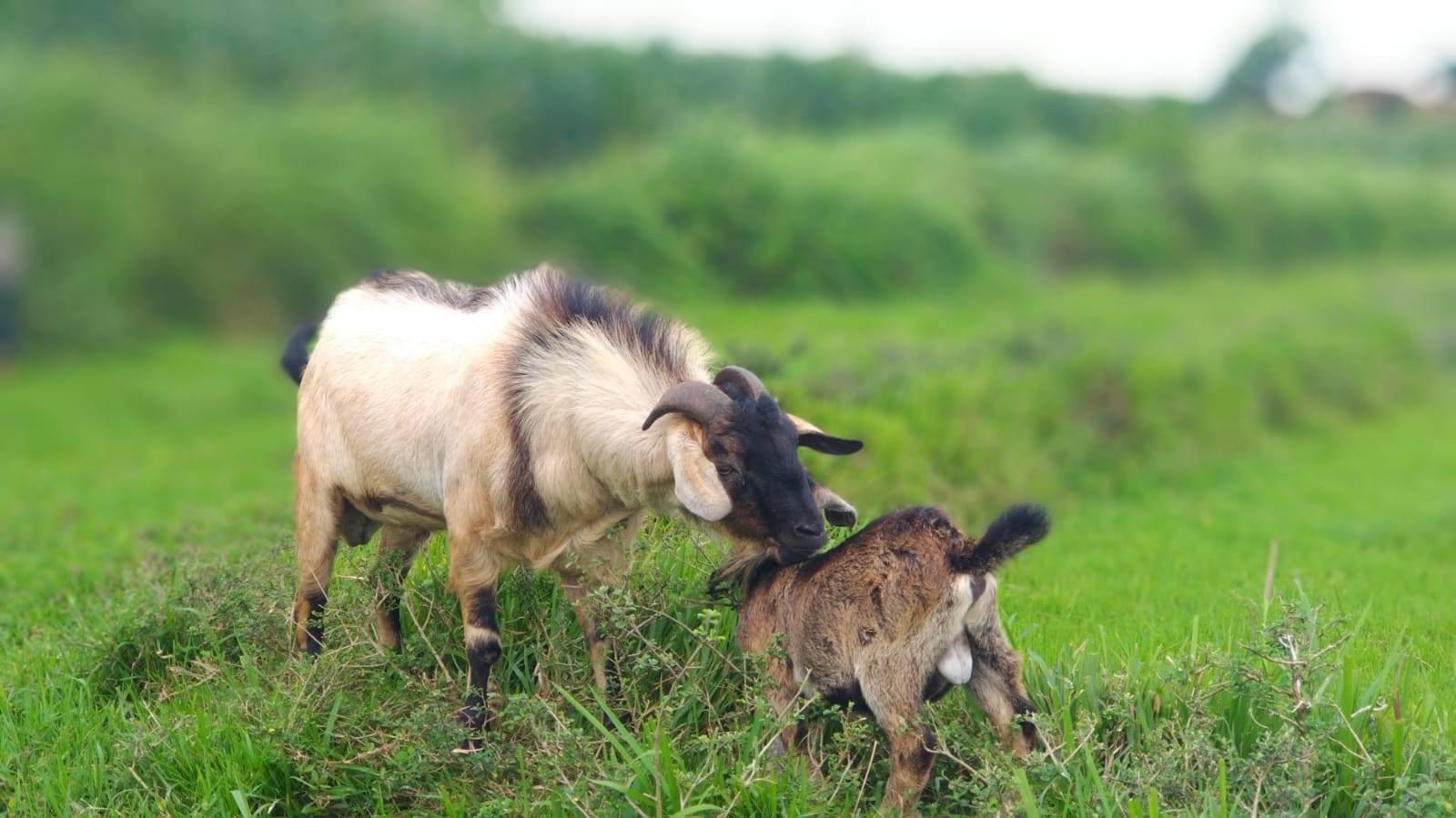 Penyakit yang Sering Menyerang Kambing dan Domba