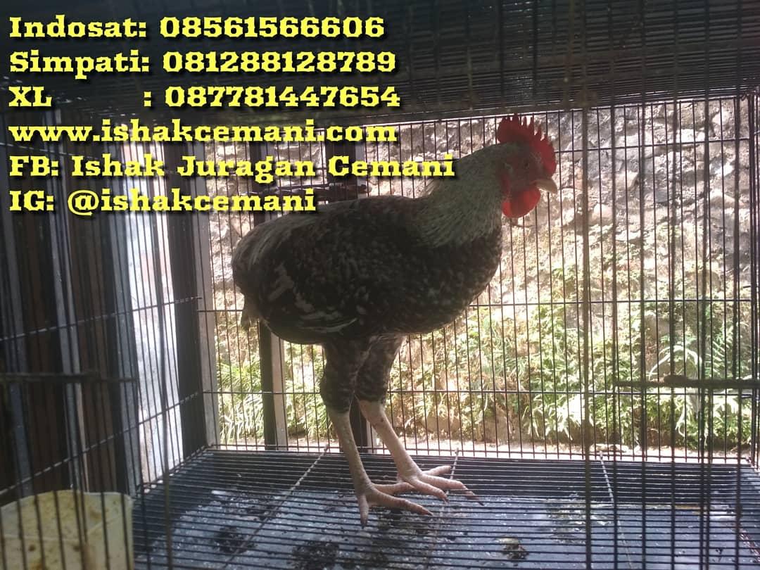 Ayam Tukung Jantan Legendaris Warna Jali Super Unik, Super Antik, Dan Super Sangat Langka