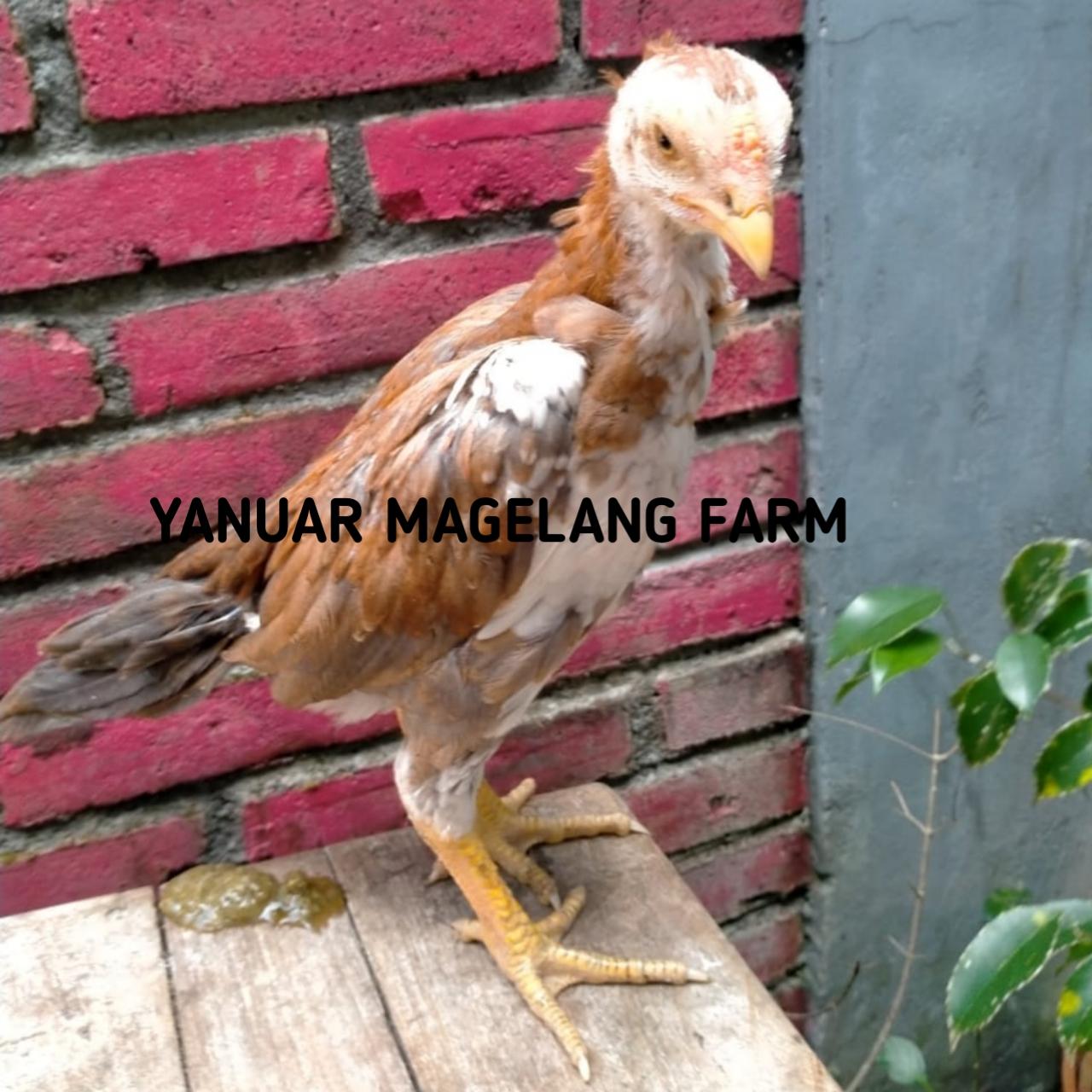 Anak Ayam Bangkok Ekor Lidi Super